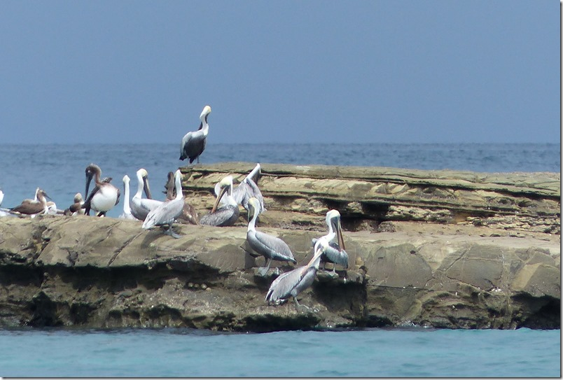 Nov 20th - Pelicans at Isla Bartolome'